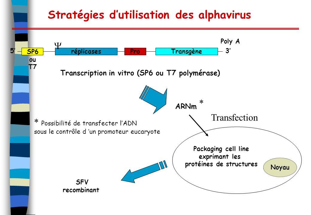 Stratégies dutilisation des alphavirus réplicasesProTransgène 3 5 Poly A Transcription in vitro (SP6 ou T7 polymérase) ARNm Packaging cell line exprimant les protéines de structures Noyau SFV recombinant Transfection * * Possibilité de transfecter lADN sous le contrôle d un promoteur eucaryote SP6 ou T7