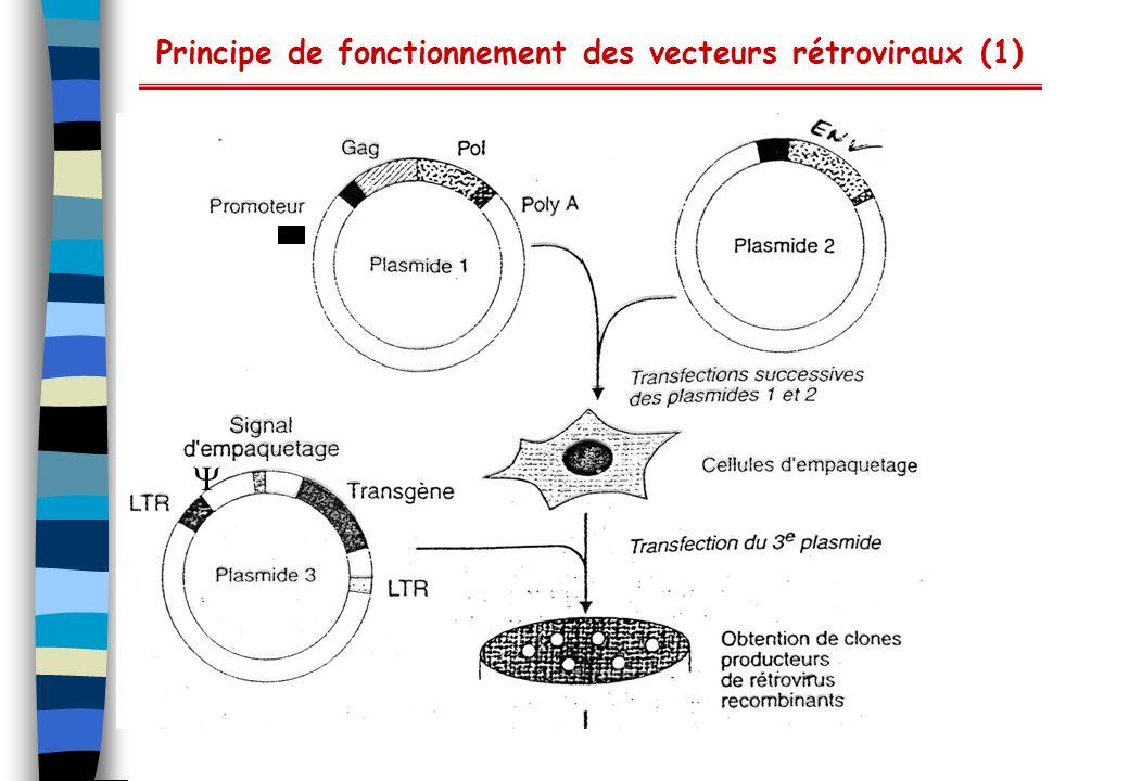 Vecteurs adéno-associés Utilisation principale : expression de protéines en cellules mammifères à des fins de thérapie génique (cellules quiescentes) Cycle réplicatif Virus nus ADN simple-brin linéaire (5 kb) Leur cycle réplicatif implique : L entrée dans la cellule par endocytose, via les héparines sulfates et récepteurs secondaires ( v 5, FGF) (large spectre de cellules infectées) Adressage de l ADN au noyau Transcription en ADN double-brin (nécessite un virus helper du type adéno (E4), herpes) Intégration dans le chromosome 19 Expression des ARNm (facilitée par les virus helper ) La production de particules virales (très résistantes : pH, température, détergents) Ils infectent la plupart des cellules mammifères
