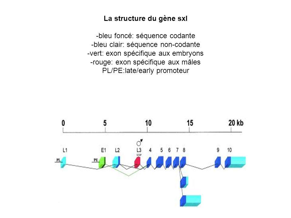 La structure du gène sxl -bleu foncé: séquence codante -bleu clair: séquence non-codante -vert: exon spécifique aux embryons -rouge: exon spécifique a