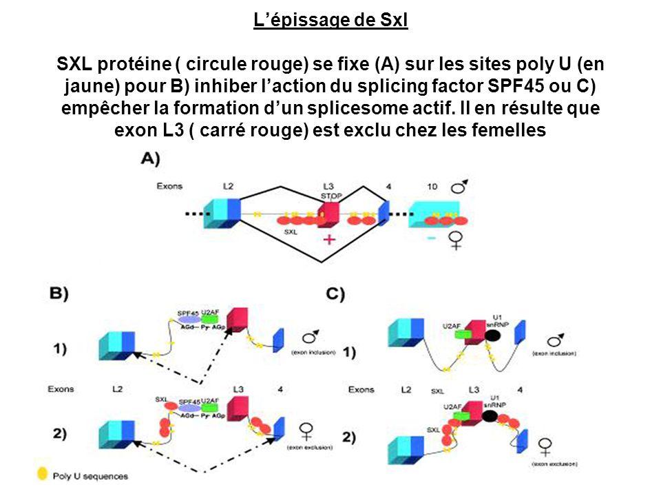 Lépissage de Sxl SXL protéine ( circule rouge) se fixe (A) sur les sites poly U (en jaune) pour B) inhiber laction du splicing factor SPF45 ou C) empê