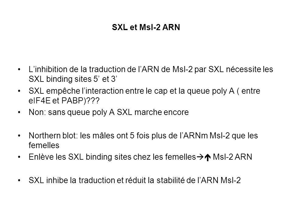 SXL et Msl-2 ARN Linhibition de la traduction de lARN de Msl-2 par SXL nécessite les SXL binding sites 5 et 3 SXL empêche linteraction entre le cap et