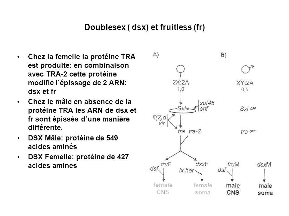 Doublesex ( dsx) et fruitless (fr) Chez la femelle la protéine TRA est produite: en combinaison avec TRA-2 cette protéine modifie lépissage de 2 ARN:
