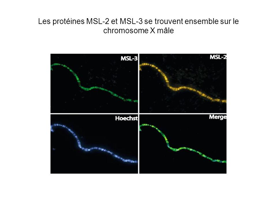 Les protéines MSL-2 et MSL-3 se trouvent ensemble sur le chromosome X mâle