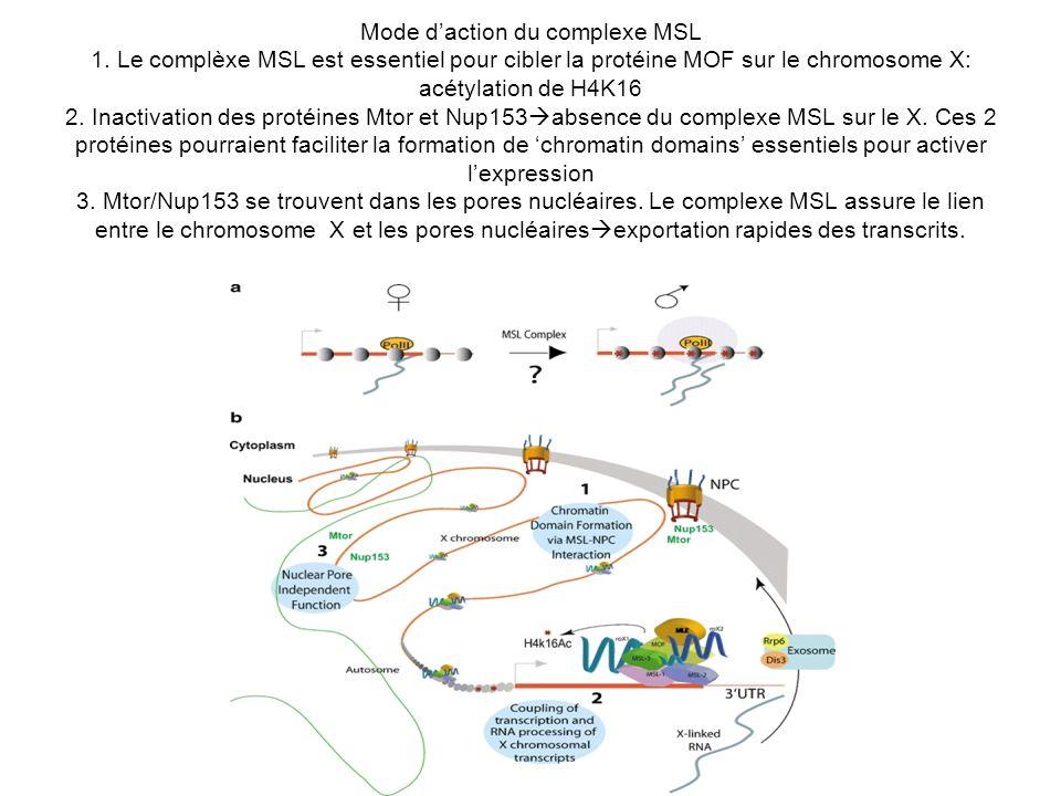 Mode daction du complexe MSL 1. Le complèxe MSL est essentiel pour cibler la protéine MOF sur le chromosome X: acétylation de H4K16 2. Inactivation de