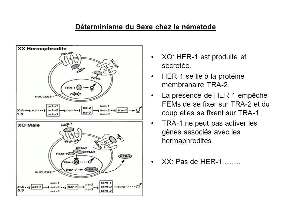 Déterminisme du Sexe chez le nématode XO: HER-1 est produite et secretée. HER-1 se lie à la protéine membranaire TRA-2. La présence de HER-1 empêche F