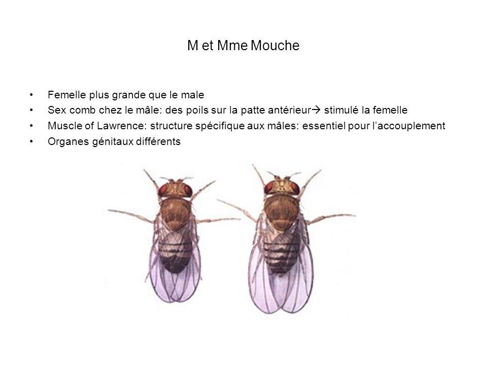 M et Mme Mouche Femelle plus grande que le male Sex comb chez le mâle: des poils sur la patte antérieur stimulé la femelle Muscle of Lawrence: structu