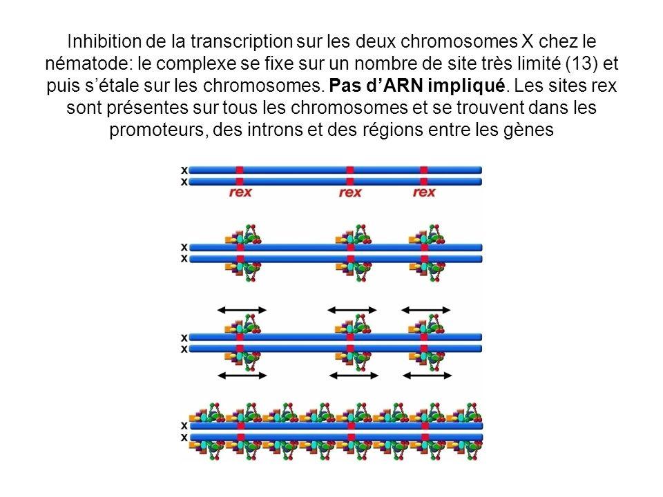 Inhibition de la transcription sur les deux chromosomes X chez le nématode: le complexe se fixe sur un nombre de site très limité (13) et puis sétale