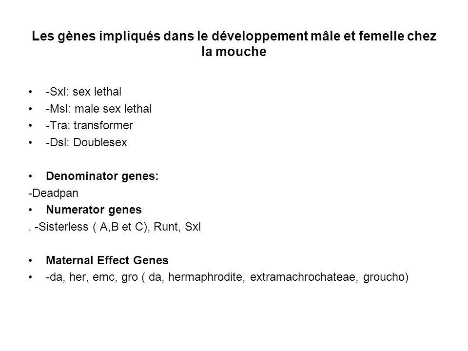 Les gènes impliqués dans le développement mâle et femelle chez la mouche -Sxl: sex lethal -Msl: male sex lethal -Tra: transformer -Dsl: Doublesex Deno