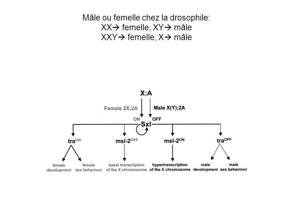Le complexe qui augmente lexpression des gènes sur le chromosome X mâle Msl 1, Msl 2, Msl 3: DNA/RNA binding protéines essentielles pour le montage du complexe Mle: une hélicase Plus récemment limportance de 3 autres molécules a été mis en evidence: Mof: un histone acétyltransférase Rox 1 et Rox 2: les ARN qui se fixent sur le chromosome X (les homologs de Xist?).