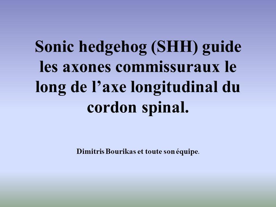 Sonic hedgehog (SHH) guide les axones commissuraux le long de laxe longitudinal du cordon spinal. Dimitris Bourikas et toute son équipe.