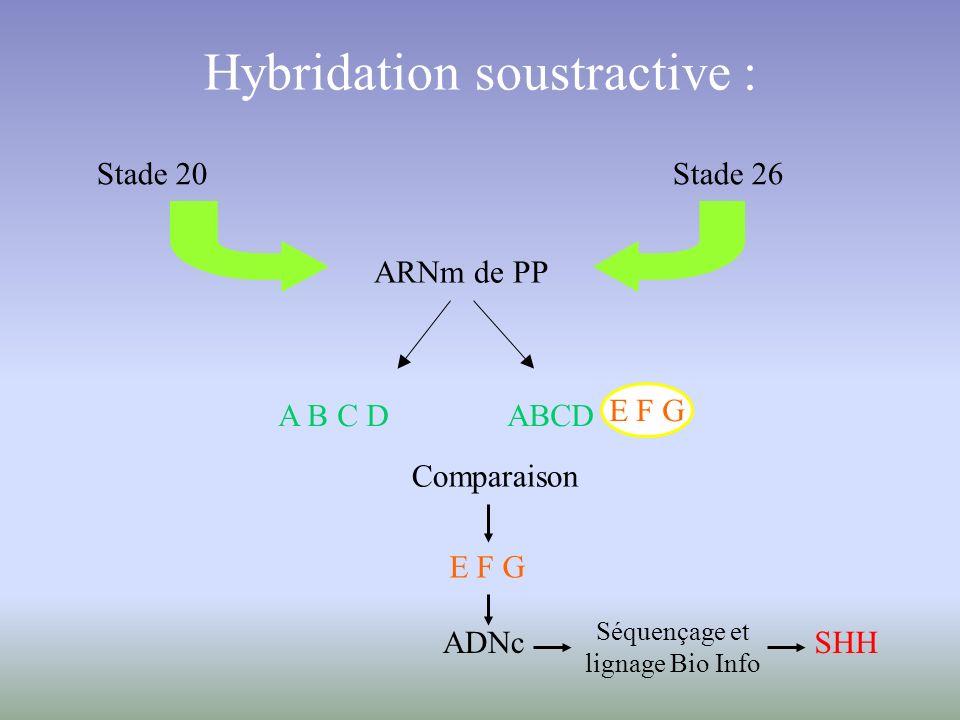Hybridation soustractive : Stade 20 Stade 26 ARNm de PP A B C D ABCD E F G Comparaison E F G ADNc Séquençage et lignage Bio Info SHH
