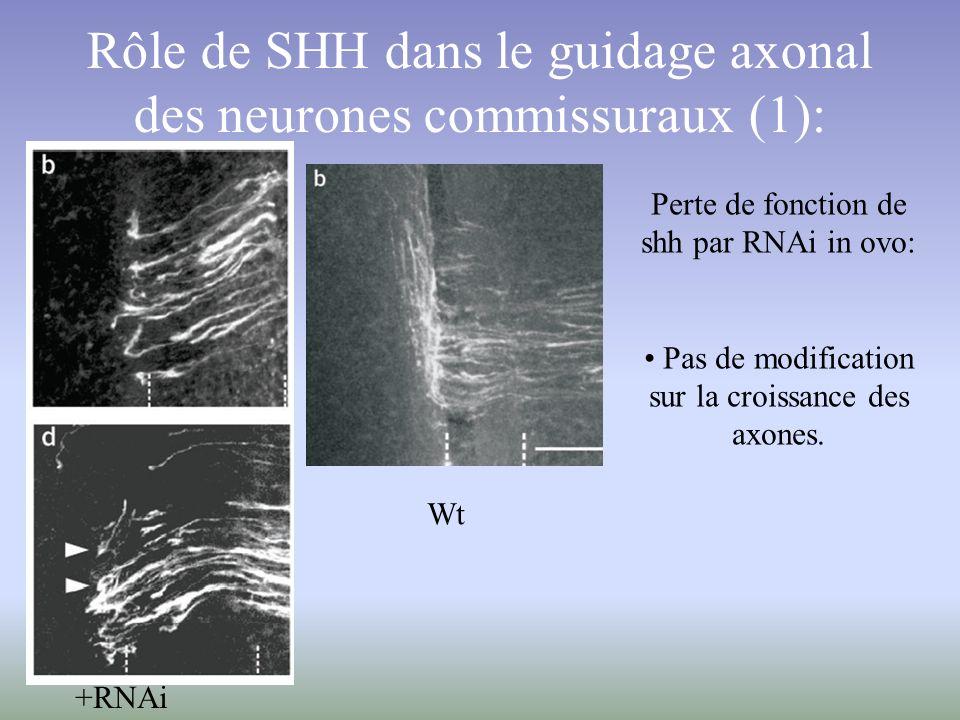 Rôle de SHH dans le guidage axonal des neurones commissuraux (1): Perte de fonction de shh par RNAi in ovo: Pas de modification sur la croissance des