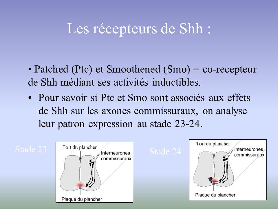 Les récepteurs de Shh : Pour savoir si Ptc et Smo sont associés aux effets de Shh sur les axones commissuraux, on analyse leur patron expression au st