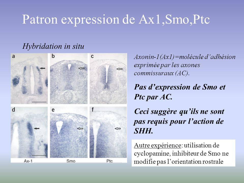 Patron expression de Ax1,Smo,Ptc Axonin-1(Ax1)=molécule dadhésion exprimée par les axones commissuraux (AC). Pas dexpression de Smo et Ptc par AC. Cec