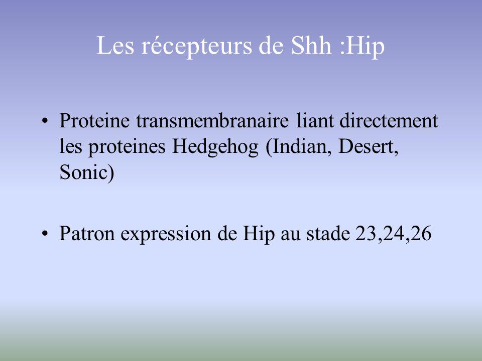 Proteine transmembranaire liant directement les proteines Hedgehog (Indian, Desert, Sonic) Patron expression de Hip au stade 23,24,26 Les récepteurs d