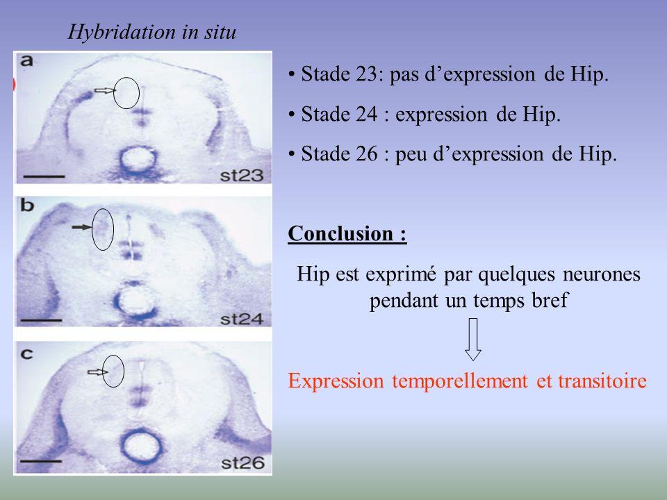 Hybridation in situ Stade 23: pas dexpression de Hip. Stade 24 : expression de Hip. Stade 26 : peu dexpression de Hip. Conclusion : Hip est exprimé pa