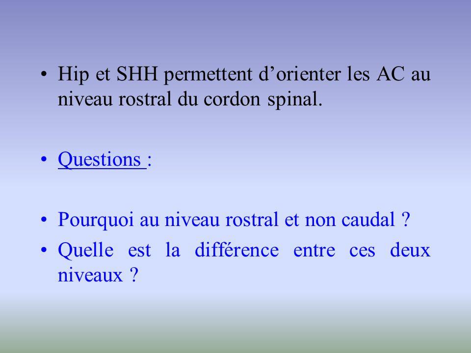 Hip et SHH permettent dorienter les AC au niveau rostral du cordon spinal. Questions : Pourquoi au niveau rostral et non caudal ? Quelle est la différ
