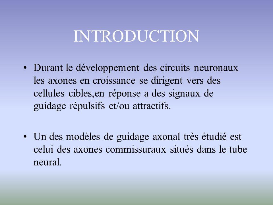 Ce modèle détude permet de confirmer leffet répulsif de SHH quand les neurones doivent tourner rostralement cest-à-dire au moment oú ils expriment Hip à leur surface.