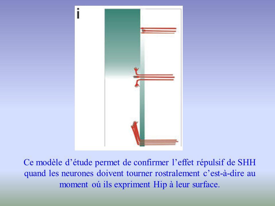 Ce modèle détude permet de confirmer leffet répulsif de SHH quand les neurones doivent tourner rostralement cest-à-dire au moment oú ils expriment Hip