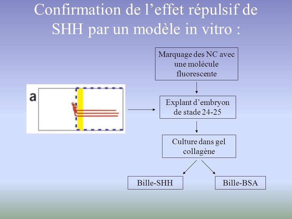 Confirmation de leffet répulsif de SHH par un modèle in vitro : Explant dembryon de stade 24-25 Culture dans gel collagène Bille-SHHBille-BSA Marquage