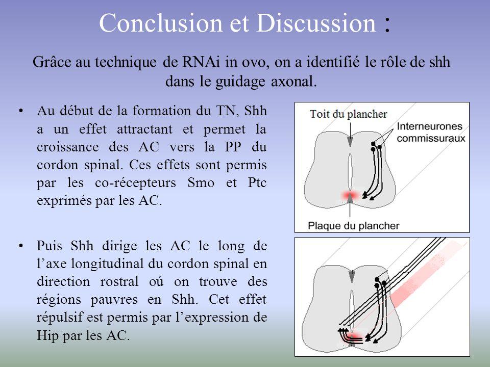 Conclusion et Discussion : Au début de la formation du TN, Shh a un effet attractant et permet la croissance des AC vers la PP du cordon spinal. Ces e