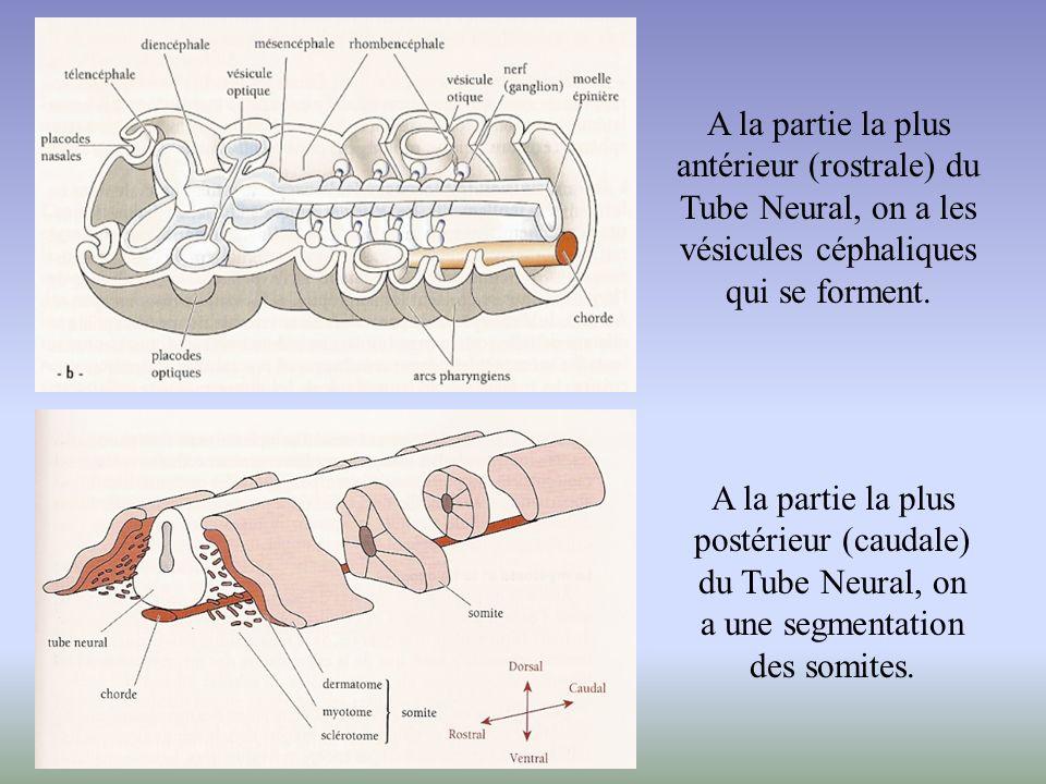 A la partie la plus antérieur (rostrale) du Tube Neural, on a les vésicules céphaliques qui se forment. A la partie la plus postérieur (caudale) du Tu