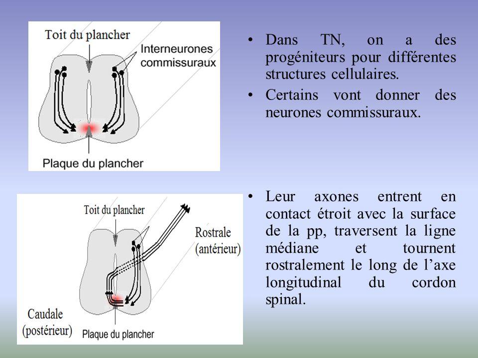 Dans TN, on a des progéniteurs pour différentes structures cellulaires. Certains vont donner des neurones commissuraux. Leur axones entrent en contact