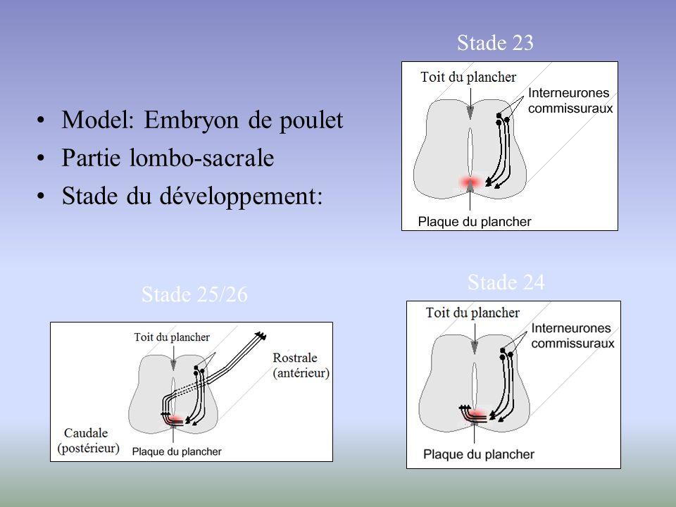 Model: Embryon de poulet Partie lombo-sacrale Stade du développement: Stade 23 Stade 25/26 Stade 24