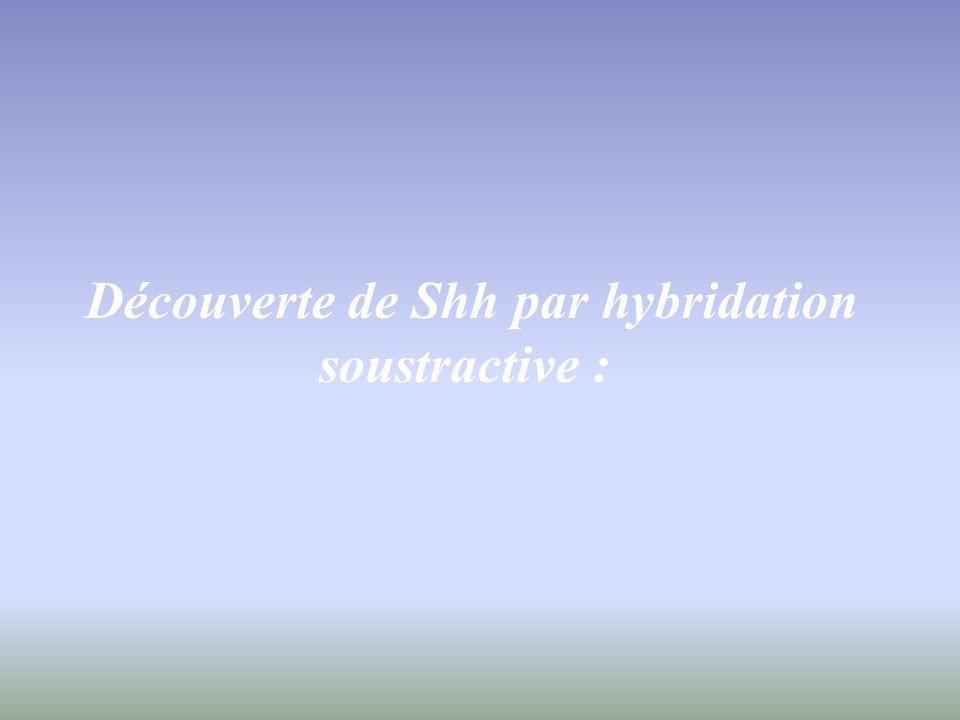 Gradient de SHH le long de laxe longitudinal du cordon spinal : Hybridation in situ de shh au stade 25 Forte expression de SHH au niveau Caudal.