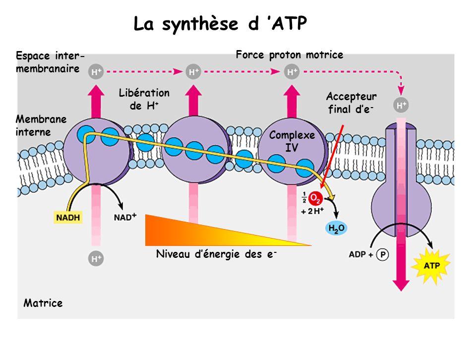 La force proton motrice est une forme dénergie potentielle (gradient): Pour rétablir léquilibre, les H + situés dans lespace inter-membranaire doivent traverser la membrane interne au niveau du « tunnel à H + » de l ATPase Le passage des H + dans le tunnel de lATPase génère lénergie pour former de lATP à partir de l ADP et de Pi Lénergie libérée sert aussi au transport actif de substrat: - symport entrée de pyruvate, AG, phosphate - antiport échange ATP/ADP, Pi ADP + Pi ATP Matrice Espace inter- membranaire Membrane interne