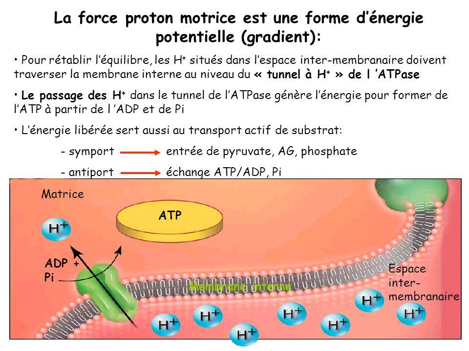 La force proton motrice est une forme dénergie potentielle (gradient): Pour rétablir léquilibre, les H + situés dans lespace inter-membranaire doivent