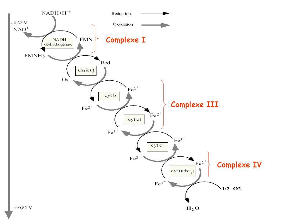 Matrice Espace inter- membranaire Complexe I Complexe III Complexe IV Coenzyme Q Cytochrome c Flux de - O2O2 NADH+H + Transport délectrons (chaîne respiratoire) 3 complexes enzymatiques (associations de nombreuses protéines) Complexe I: NADH déshydrogénase Complexe III: cytochrome b-c 1 Complexe IV: cytochrome oxydase 2 transporteurs délectrons (mobiles) Coenzyme Q = Ubiquinone Cytochrome c