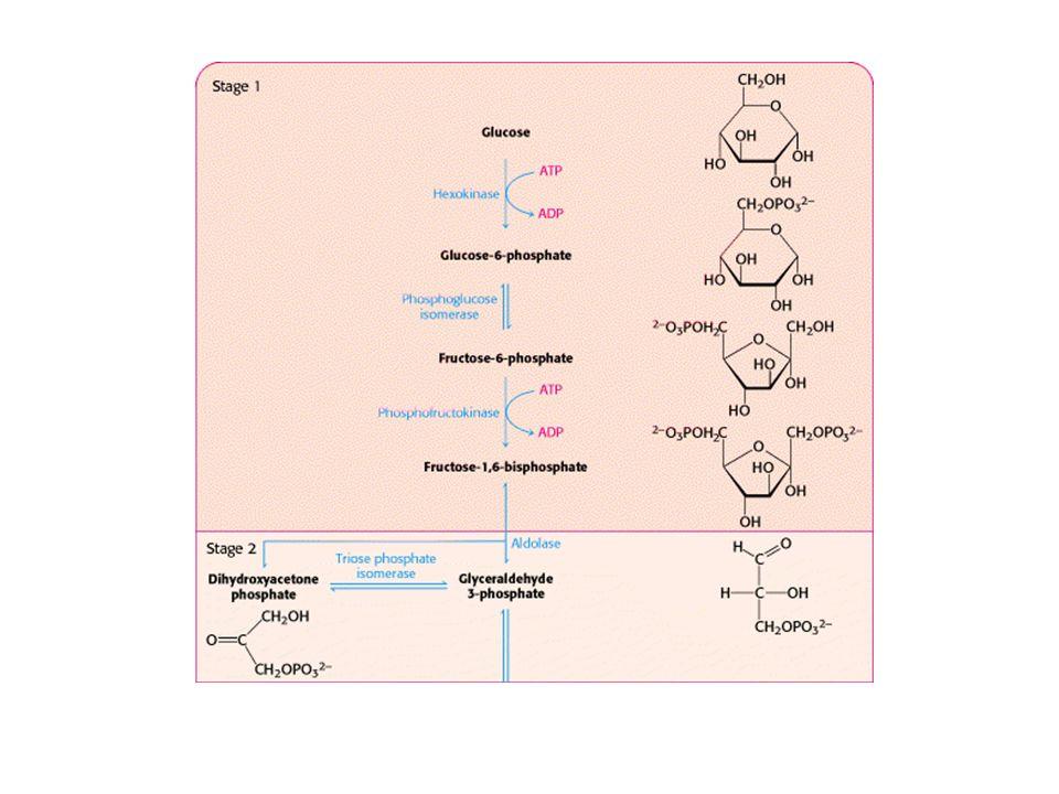 Utilisation du pyruvate dans les cellules de mammifères Conditions standards –pyruvate HCO3 et 36ATP Hypoxie –pyruvate Lactate et H+ acidification