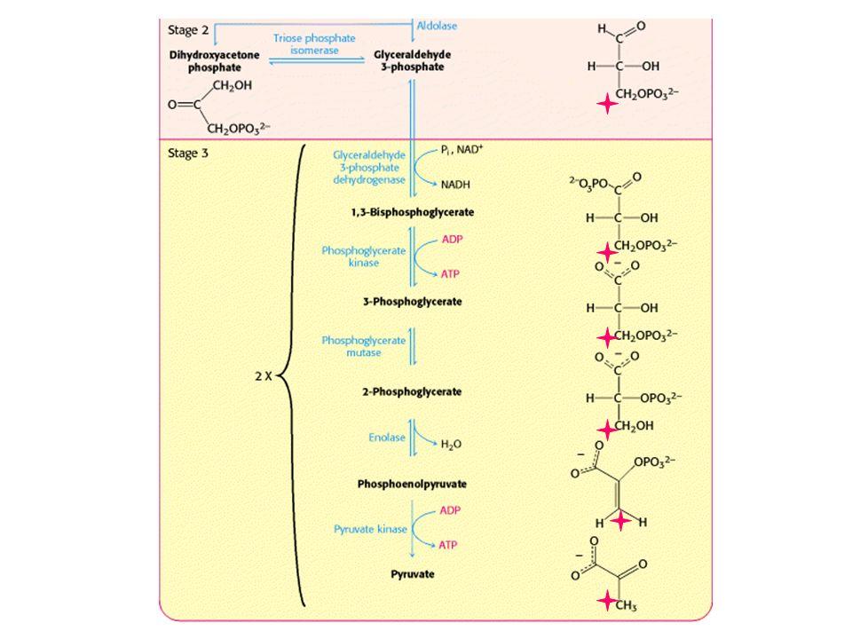 Exercice 3 Pouvez vous prédire les effets de chacune des mutations suivantes sur la glycolyse dans des cellules de foie: a) Perte du site allostérique pour l ATP sur la phosphofructokinase b) Perte du site de liaison au citrate sur la phosphofructokinase c) Perte du domaine phosphatase de l enzyme bifonctionnelle qui contrôle le niveau du fructose 2,6-biphosphate d) Perte du site de liaison pour le fructose 1,6-bisphosphate sur la pyruvate kinase
