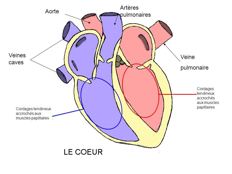 Veines caves Artères pulmonaires Aorte Veine pulmonaire Cordages tendineux accrochés aux muscles papillaires