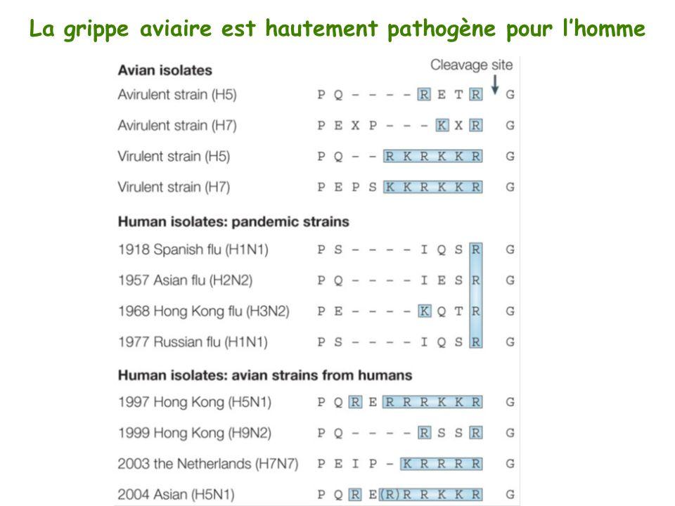 La grippe aviaire est hautement pathogène pour lhomme