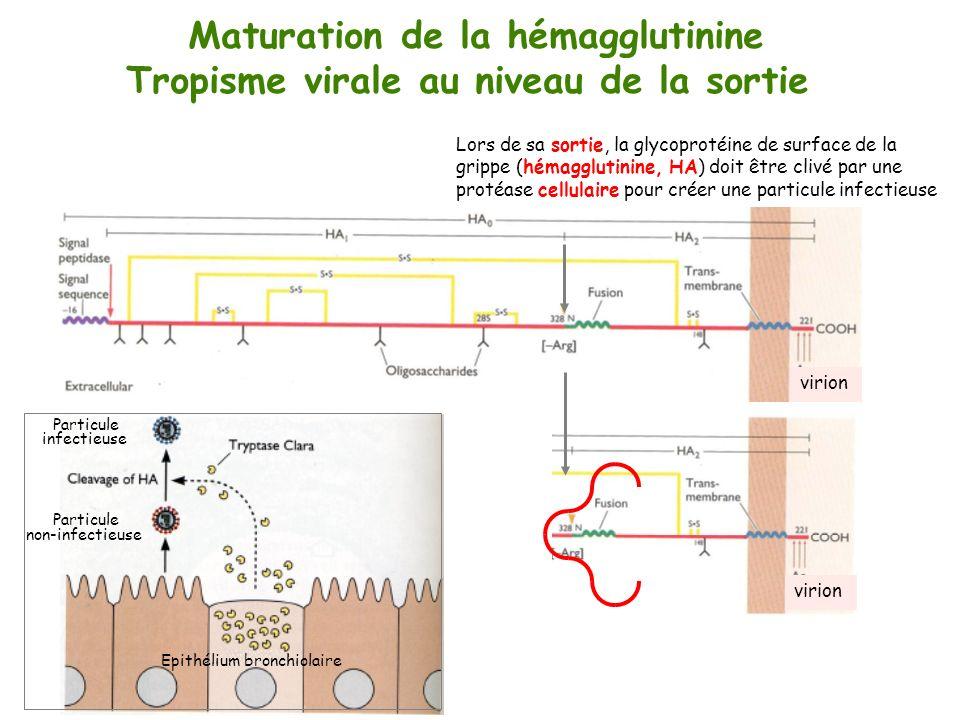virion Maturation de la hémagglutinine Tropisme virale au niveau de la sortie Lors de sa sortie, la glycoprotéine de surface de la grippe (hémagglutin