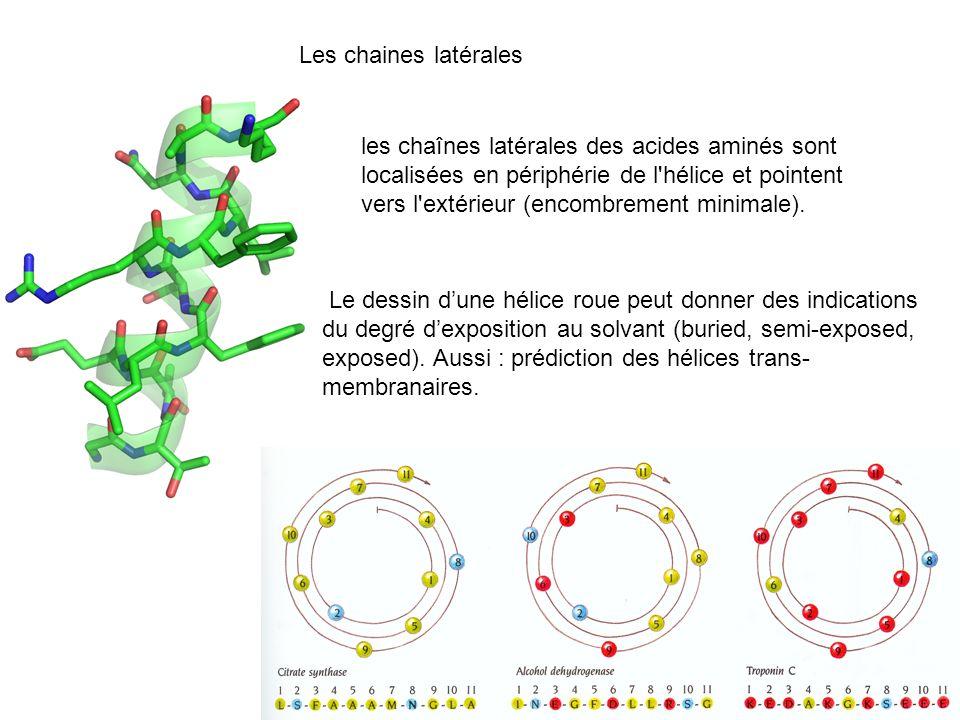 Les chaines latérales les chaînes latérales des acides aminés sont localisées en périphérie de l'hélice et pointent vers l'extérieur (encombrement min
