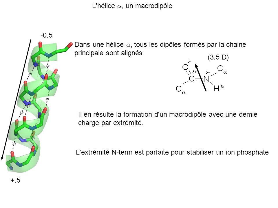 L'hélice, un macrodipôle Dans une hélice tous les dipôles formés par la chaine principale sont alignés Il en résulte la formation d'un macrodipôle ave