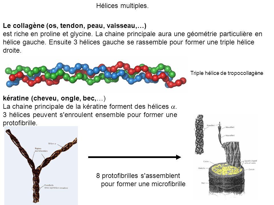 Hélices multiples. Le collagène (os, tendon, peau, vaisseau,…) est riche en proline et glycine. La chaine principale aura une géométrie particulière e