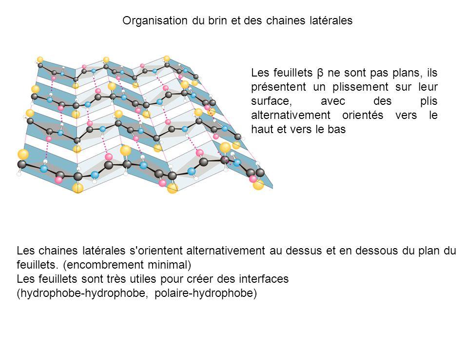 Organisation du brin et des chaines latérales Les feuillets β ne sont pas plans, ils présentent un plissement sur leur surface, avec des plis alternat
