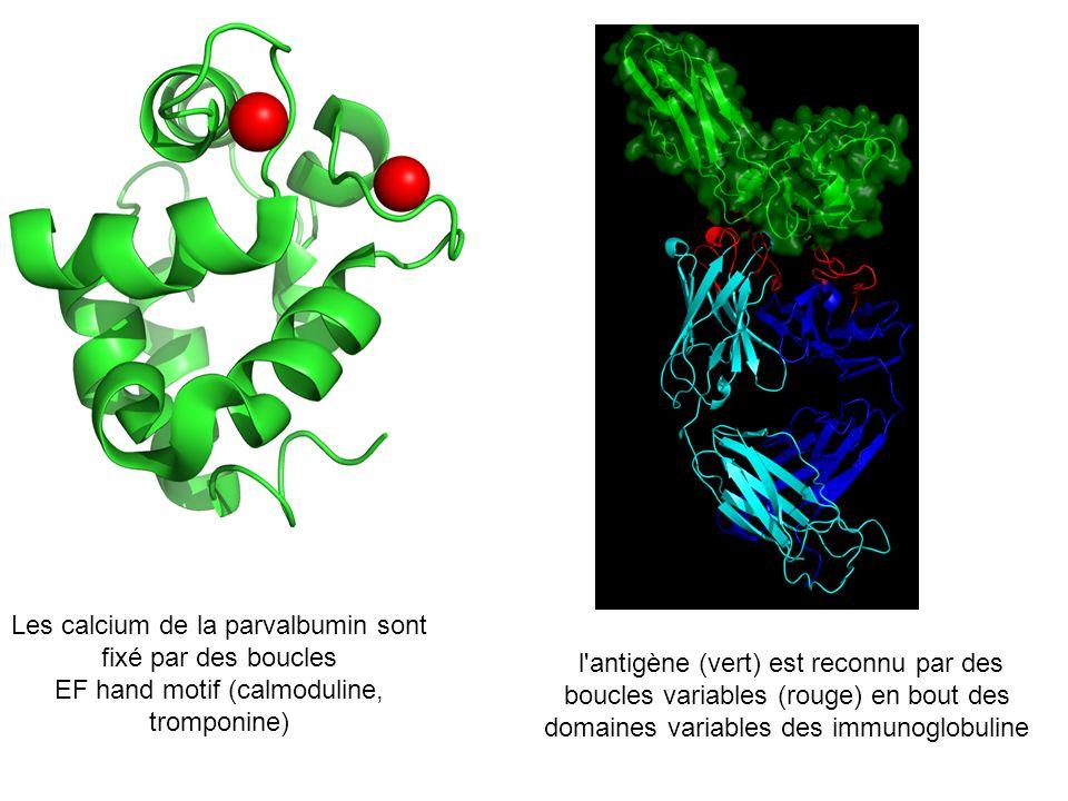 Les calcium de la parvalbumin sont fixé par des boucles EF hand motif (calmoduline, tromponine) l'antigène (vert) est reconnu par des boucles variable