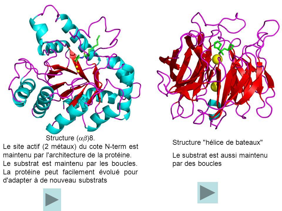 Structure ( )8. Le site actif (2 métaux) du cote N-term est maintenu par l'architecture de la protéine. Le substrat est maintenu par les boucles. La p