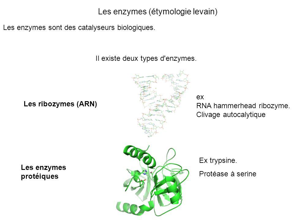 Les enzymes (étymologie levain) Les enzymes sont des catalyseurs biologiques. Les enzymes protéiques Les ribozymes (ARN) ex RNA hammerhead ribozyme. C