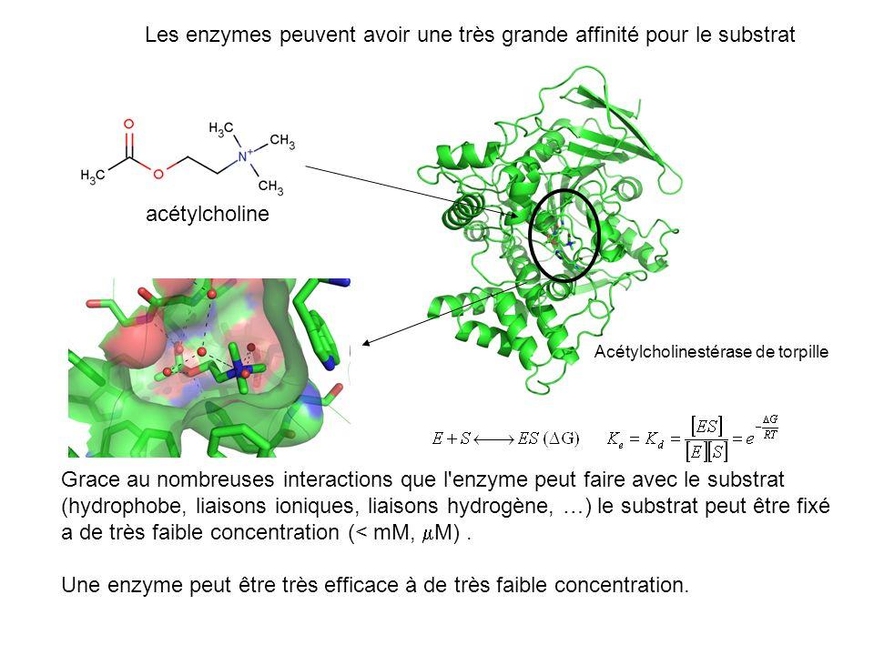 Les enzymes peuvent avoir une très grande affinité pour le substrat acétylcholine Acétylcholinestérase de torpille Grace au nombreuses interactions qu