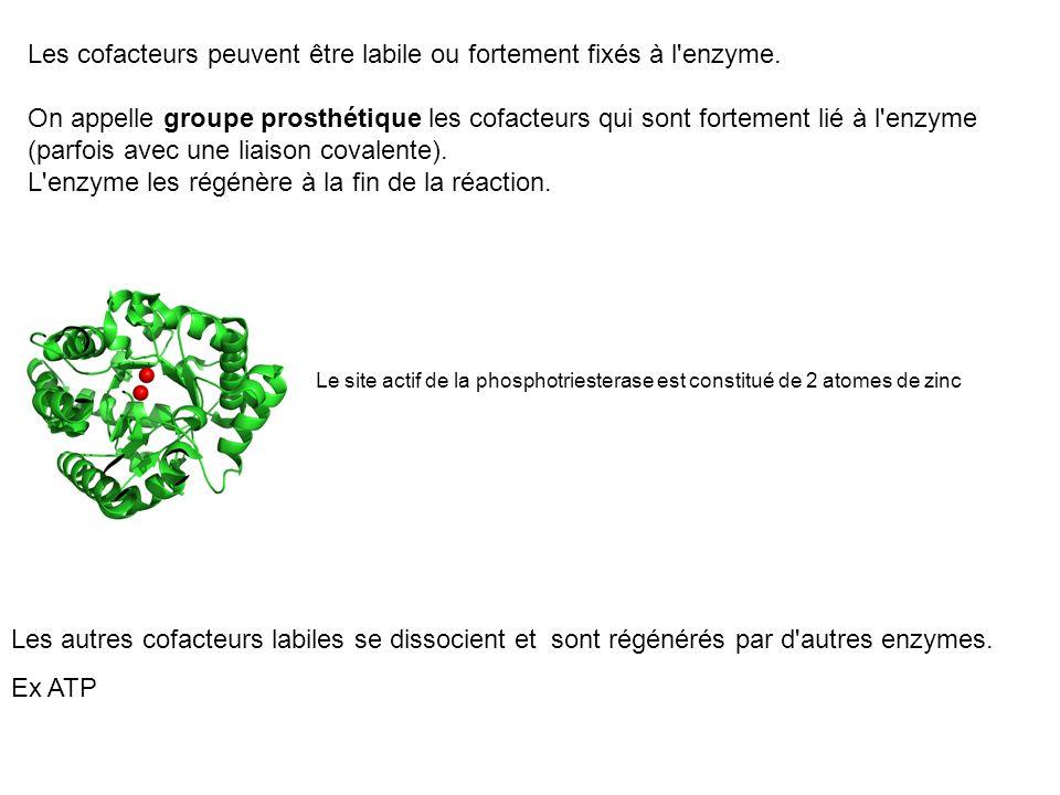 Les cofacteurs peuvent être labile ou fortement fixés à l'enzyme. On appelle groupe prosthétique les cofacteurs qui sont fortement lié à l'enzyme (par