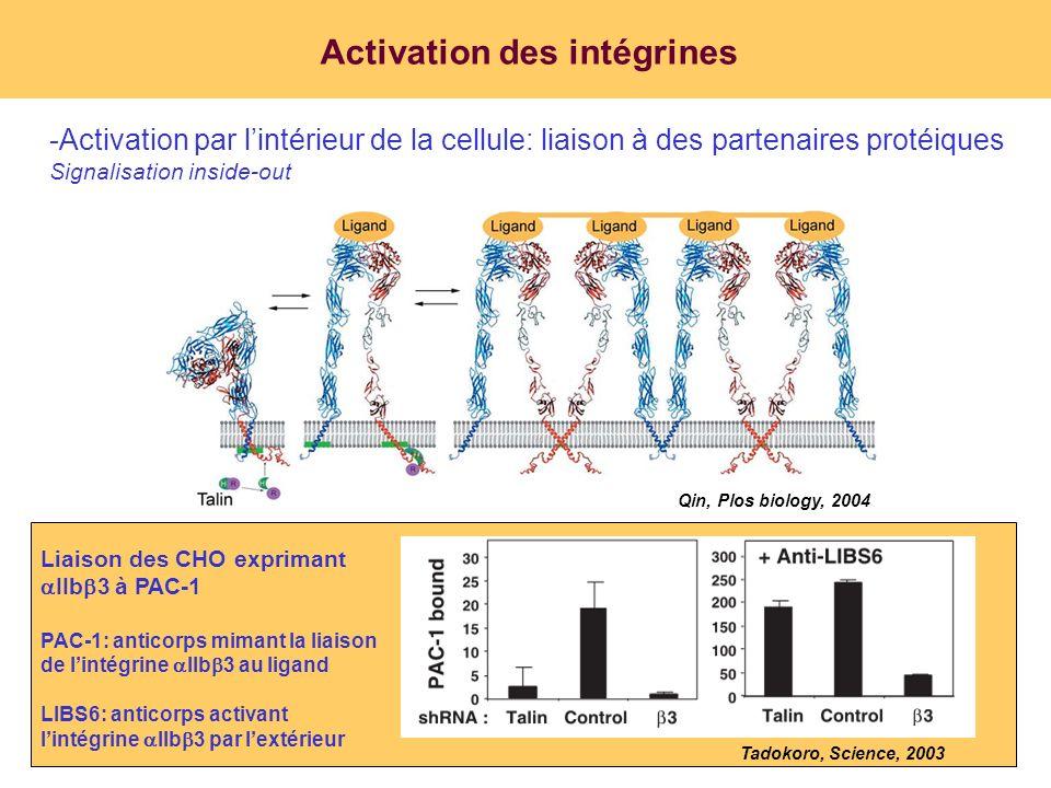 Activation des intégrines -Activation par lintérieur de la cellule: liaison à des partenaires protéiques Signalisation inside-out Qin, Plos biology, 2