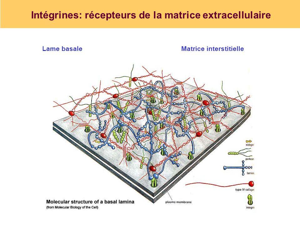 Intégrines: récepteurs de la matrice extracellulaire Lame basaleMatrice interstitielle