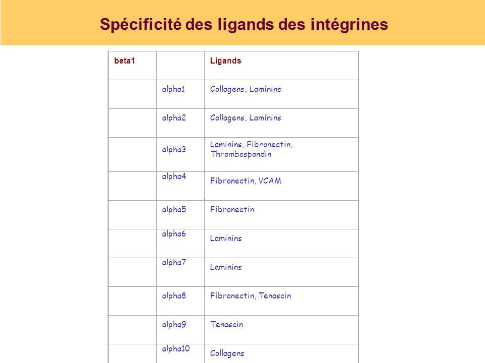 Spécificité des ligands des intégrines beta1 Ligands alpha1Collagens, Laminins alpha2Collagens, Laminins alpha3 Laminins, Fibronectin, Thrombospondin