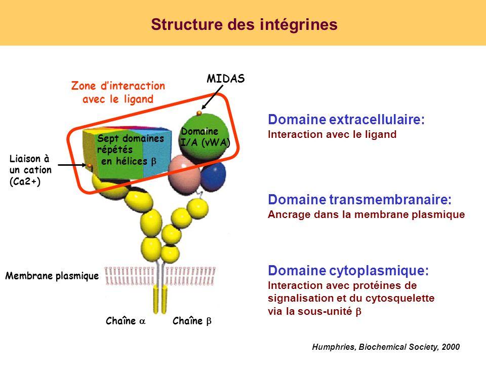 Structure des intégrines Chaîne Domaine I/A (vWA) Membrane plasmique Sept domaines répétés en hélices Liaison à un cation (Ca2+) MIDAS Zone dinteracti